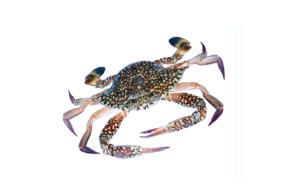 Blue_spot_swimming_crab