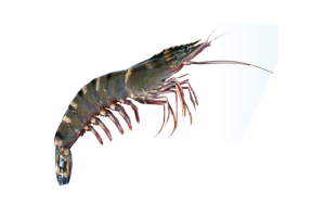 black_tiger_prawn
