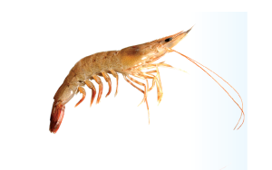 brown_shrimp