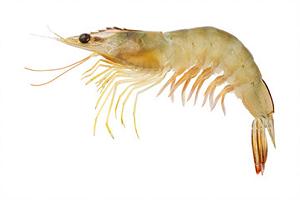 thelly shrimp